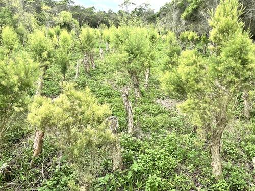 新鮮有機澳洲茶樹葉